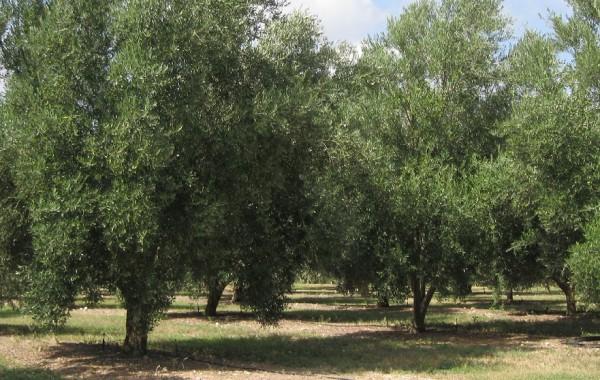 Moric Family Organic Olive Farm